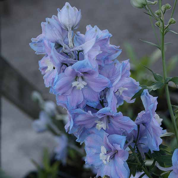 Delphinium 'Camelliard'