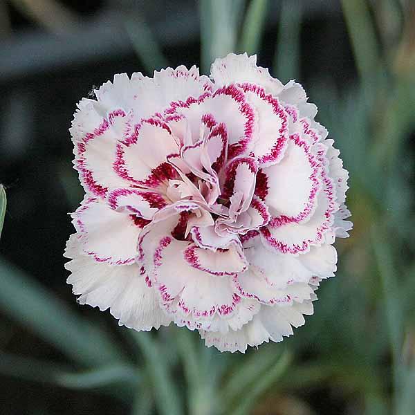 Dianthus 'Gran's Favourite'