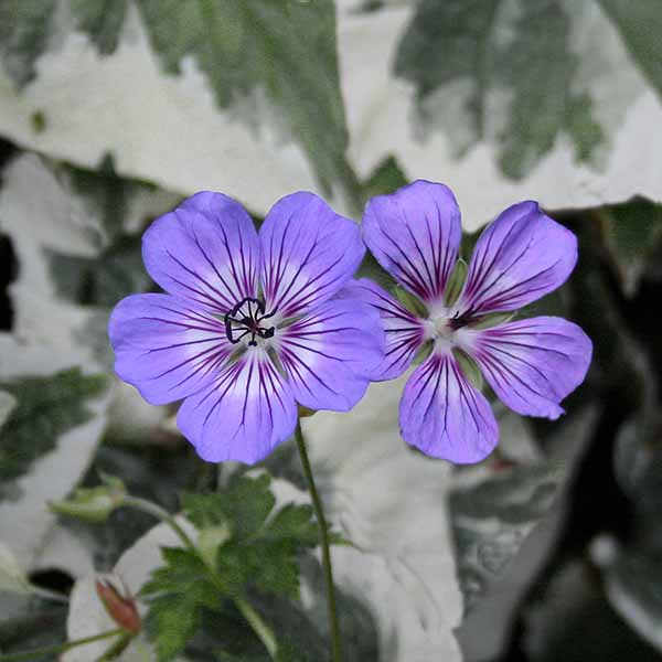 Geranium 'Havanna Blues'