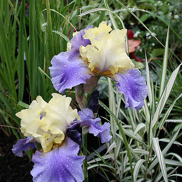 Iris 'Edith Wolford'