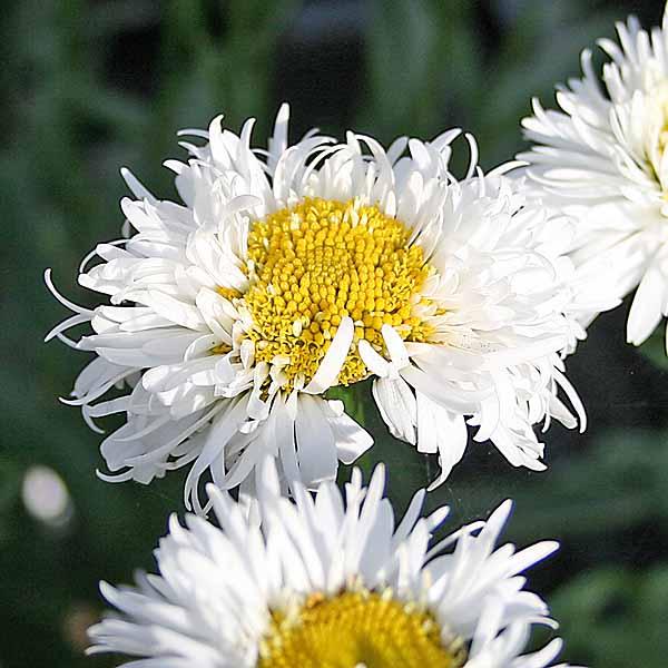 Leucanthemum 'Snehurka'