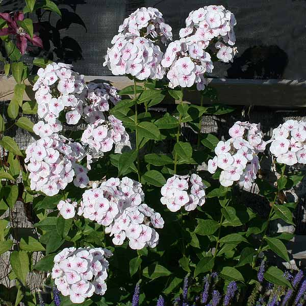 Phlox 'Mike's Favourite'