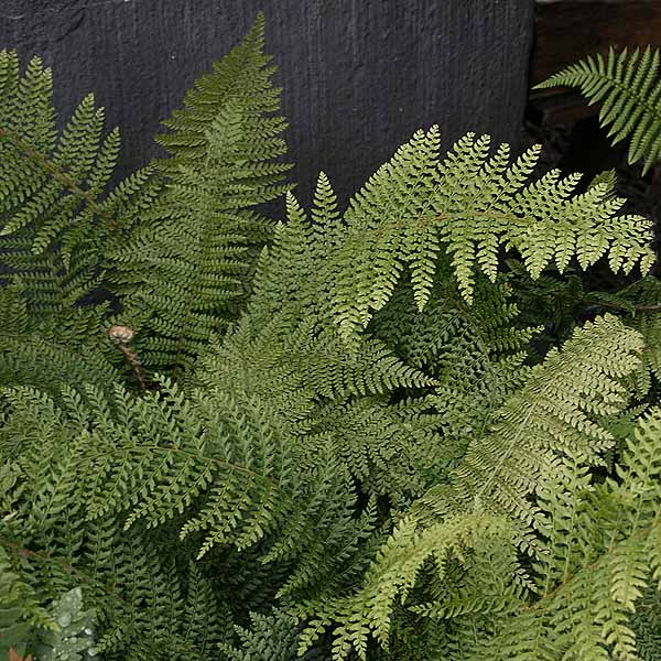 Polystichum 'Proliferum'