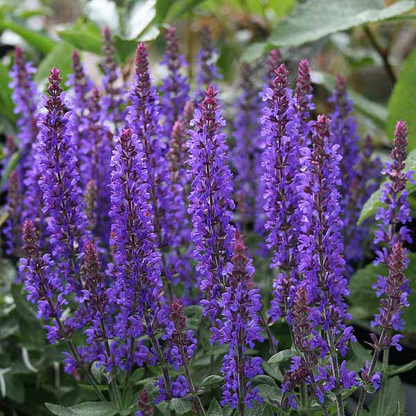 Salvia 'Sensation Deep Blue'