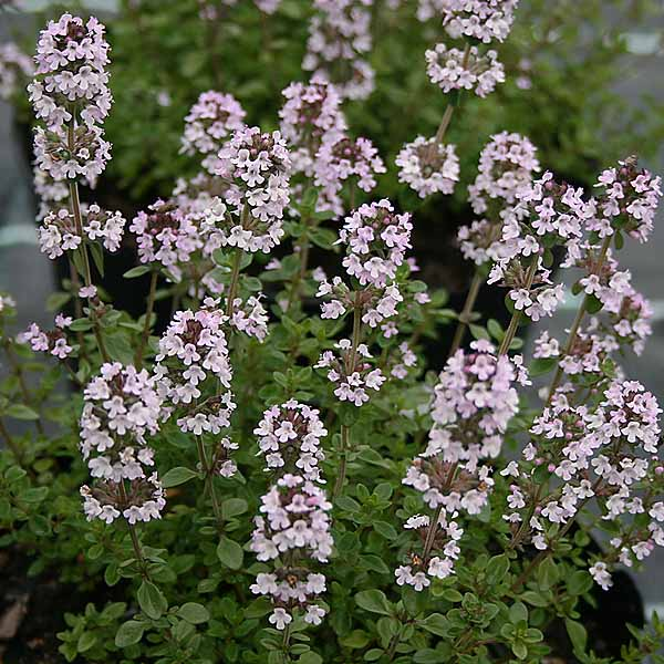Thymus 'Lime'