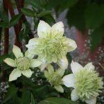 'Alba Plena' - Tidiga Storblommiga Gruppen