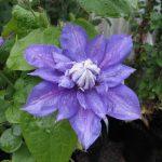 'Beauty of Worcester' - Tidiga Storblommiga Gruppen