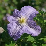 'Dominika' - Sena Storblommiga Gruppen