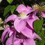'Dorothy Tolver' - Tidiga Storblommiga Gruppen