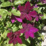 'Honora' - Sena Storblommiga Gruppen