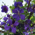 'Jackmanii' - Sena Storblommiga Gruppen