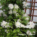 ARCTIC QUEEN - Tidiga Storblommiga Gruppen