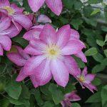'Asao' - Tidiga Storblommiga Gruppen