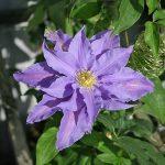 'Beata' - Sena Storblommiga Gruppen