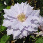 'Belle of Woking' - Tidiga Storblommiga Gruppen