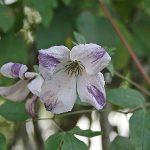 'Caerulea Luxureans' - Viticella-Gruppen