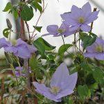 'Cezanne' - Tidiga Storblommiga Gruppen