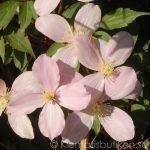 Clematis montana var. rubens - Montana-Gruppen