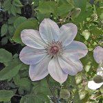 'Dawn' - Tidiga Storblommiga Gruppen