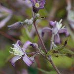 'Edward Prichard' - Heracleifolia-Gruppen