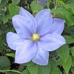 'Fujimusume' - Tidiga Storblommiga Gruppen