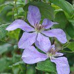 'Gabrielle' - Tidiga Storblommiga Gruppen