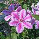 'Girenas' - Tidiga Storblommiga Gruppen