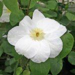 'Guernsey Cream' - Tidiga Storblommiga Gruppen
