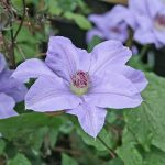 'Hybrida Sieboldii' - Sena Storblommiga Gruppen