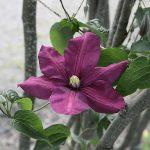 'Jackmanii Rubra' - Tidiga Storblommiga Gruppen