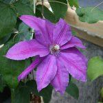 'Kacper' - Tidiga Storblommiga Gruppen