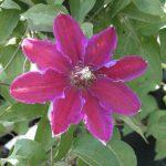 'Keith Richardson' - Tidiga Storblommiga Gruppen