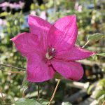 'Kommerei' - Sena Storblommiga Gruppen