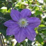 'Lasurstern' - Tidiga Storblommiga Gruppen
