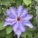'Lilactime' - Tidiga Storblommiga Gruppen