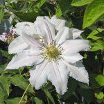 'Matka Siedliska' - Tidiga Storblommiga Gruppen