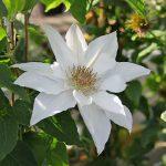'Mrs George Jackman' - Tidiga Storblommiga Gruppen