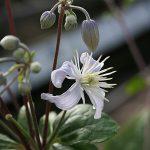 'Mrs Robert Brydon' - Heracleifolia-Gruppen