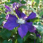 'North Star' - Tidiga Storblommiga Gruppen