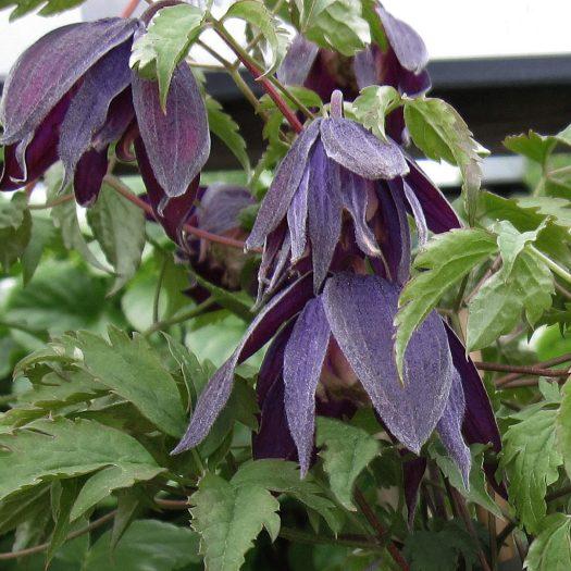 'Purple Spider'
