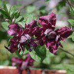 'Purpurea Plena Elegans' - Viticella-Gruppen