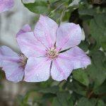'Sealand Gem' - Tidiga Storblommiga Gruppen