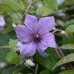 'Semu' - Sena Storblommiga Gruppen