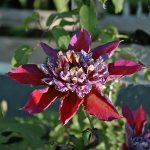 TEMPTATION - Tidiga Storblommiga Gruppen