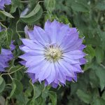 'Teshio' - Tidiga Storblommiga Gruppen
