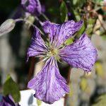 'Tie Dye' - Sena Storblommiga Gruppen