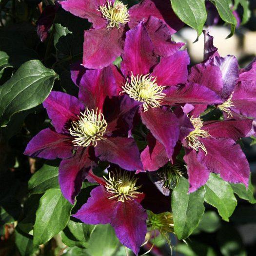 'Varenne' - Tidiga Storblommiga Gruppen