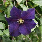 'Viola' - Sena Storblommiga Gruppen