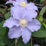 'Will Goodwin' - Tidiga Storblommiga Gruppen