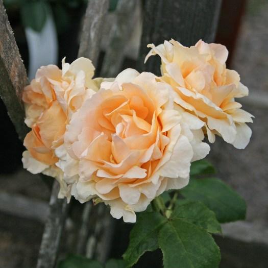 'Apricot Nectar' - Floribunda-Gruppen